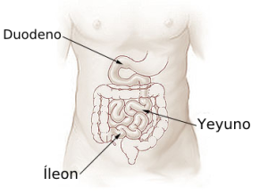 Illu_small_intestine_español